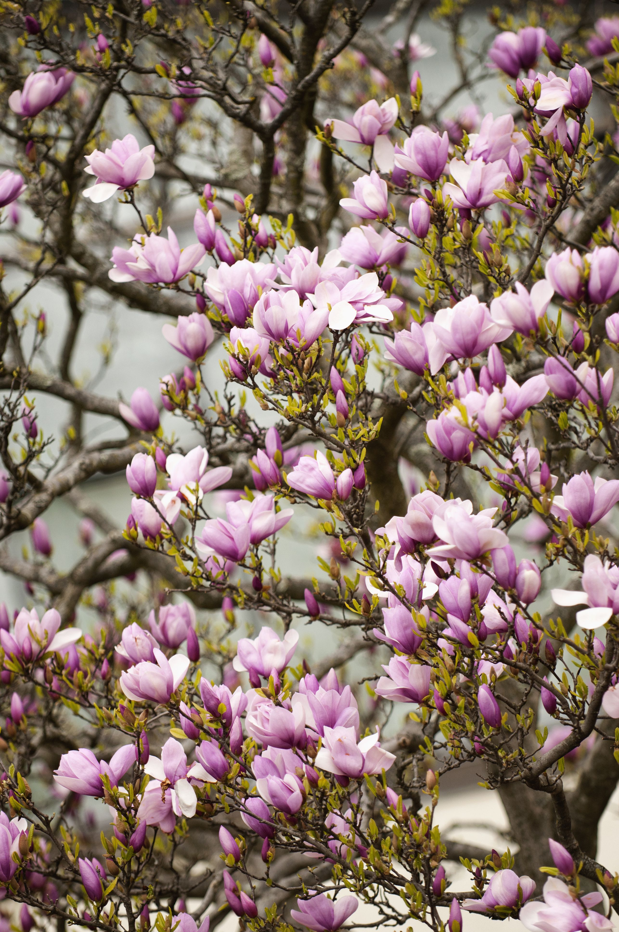 Potted Magnolia Trees How To Grow Specimens In Pots