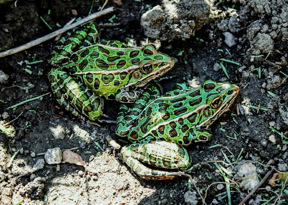 Image result for All About Leopard Frogs as Pets