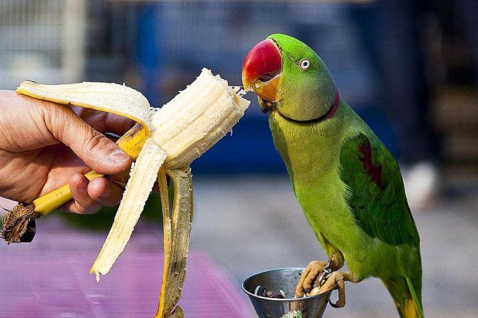 Man feeding banana for parrot.
