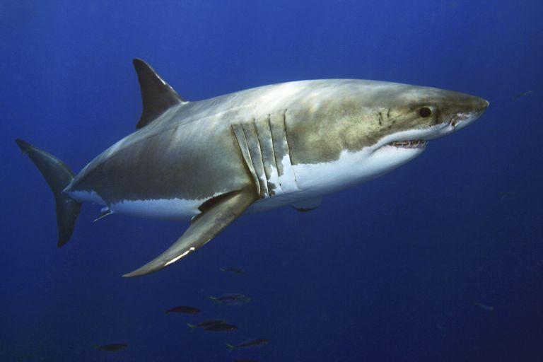 Beyaz Shark / Dave Fleetham / Tasarım Resimleri / Perspektifler / Getty Images