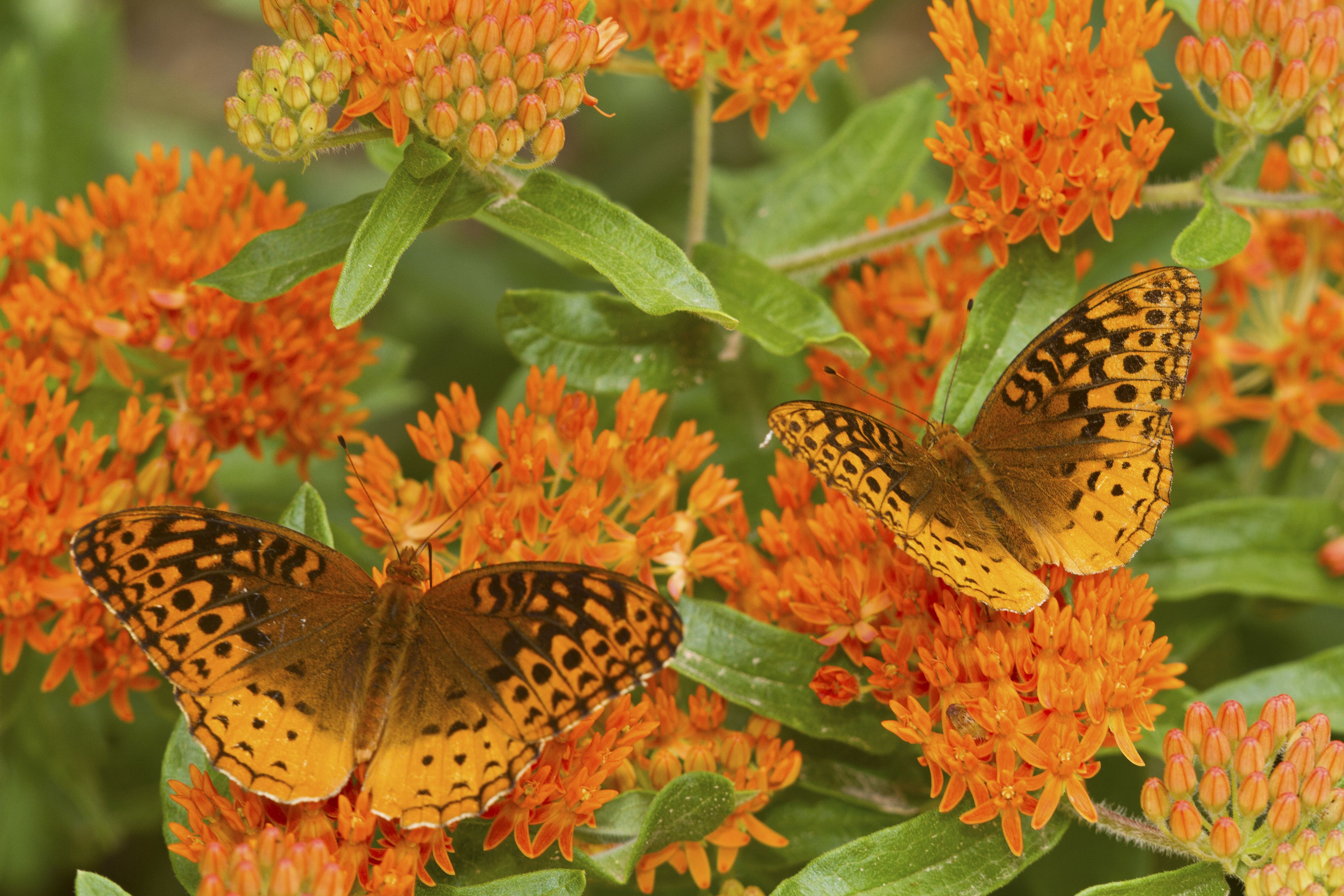 Grow Butterfly Weed Asclepias Tuberosa In Your Garden