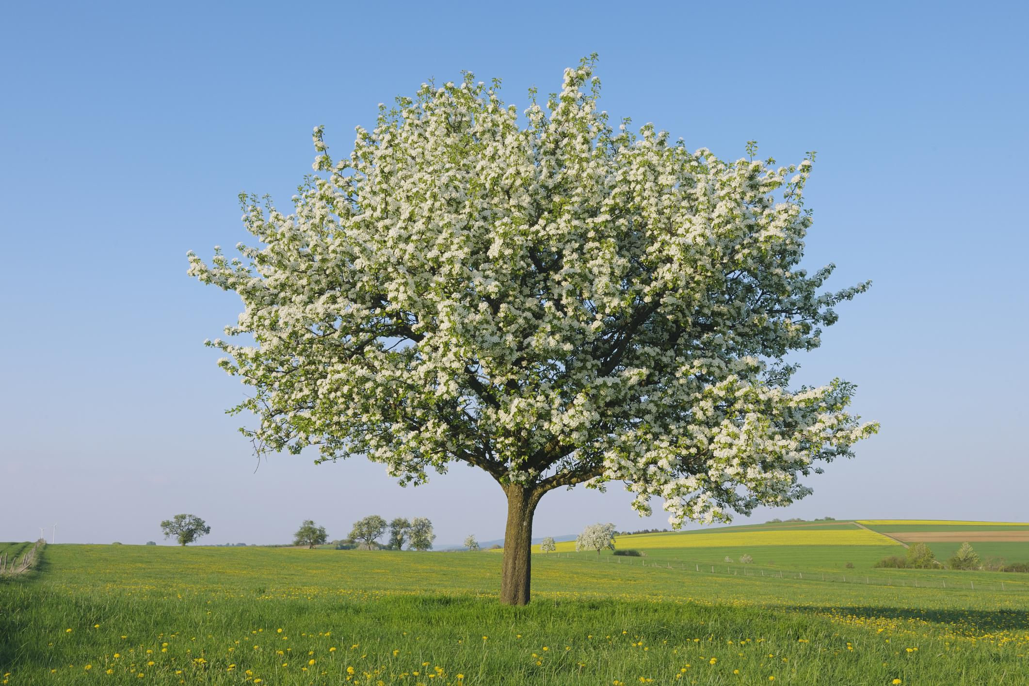 Growing The Pear Tree Pyrus Communis