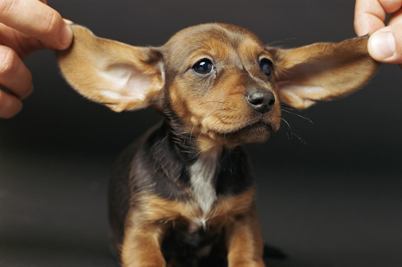 Puppies Ear Mites Treatment With Natural Remedies