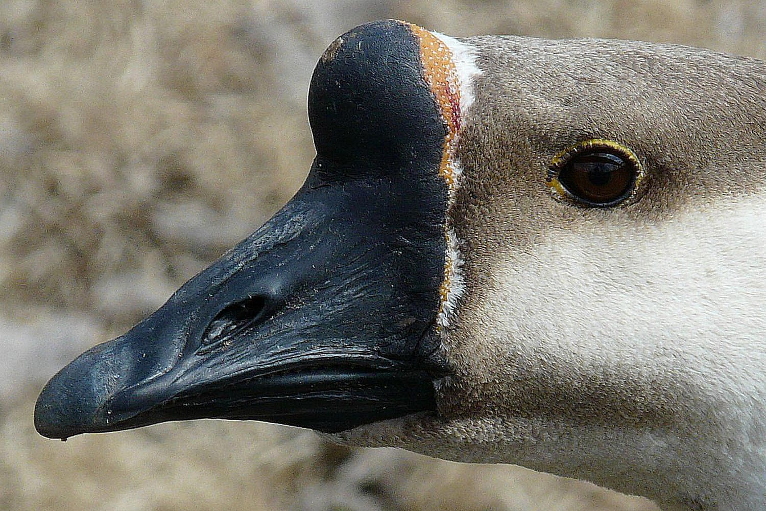 All About The Basal Knob On A Bird S Bill