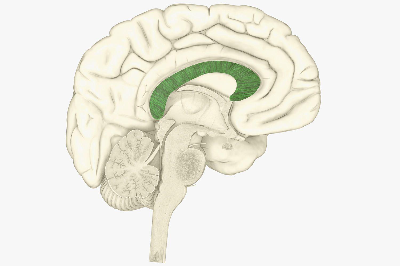 Corpus Callosum And Brain Function