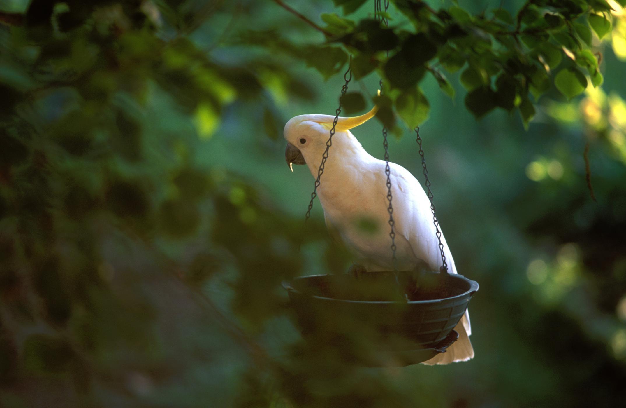 Popular Pet Cockatoo Species