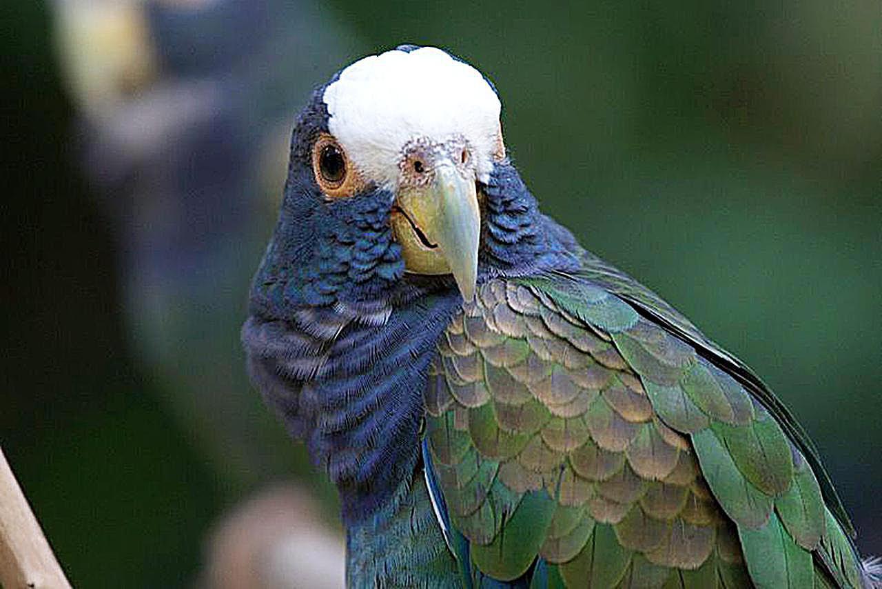 White Capped Pionus Parrots As Pets