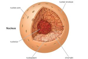 The Nucleus  Definition, Structure, and Function