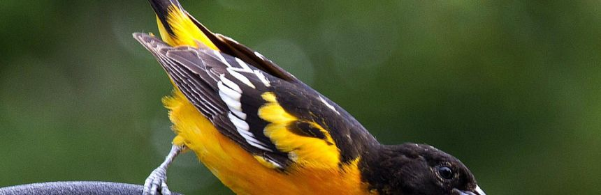 Attracting Orioles Tips And Tricks