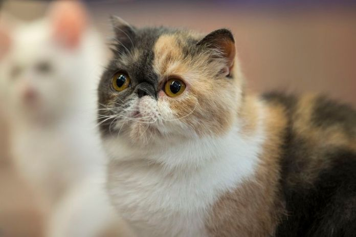 photo of an exotic short hair cat