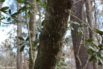 Epidendrum conopseum00006