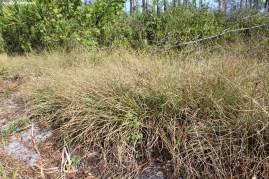 cutthroat grass flatwoods00001