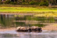 Water Oxens in Cambodia