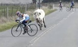 Cyclist chased by bull