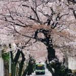 神戸 灘百選「桜のトンネル」が美しい!iPhone6とSONY α6000を持って花見散歩