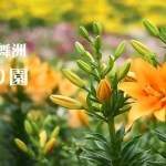 【大阪の新名所】絶景  『大阪舞洲ゆり園』に行ってきました! #α7#α6000