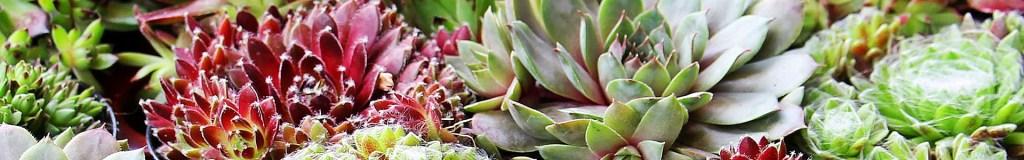 Zierpflanzen - Bodendecker