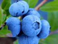 Beeren - Heidelbeeren