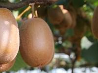 Beeren - Kiwi