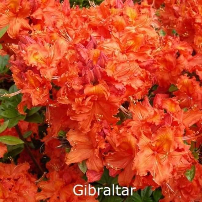 rhododendron-gibraltar