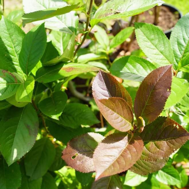 aronia-melanocarpa