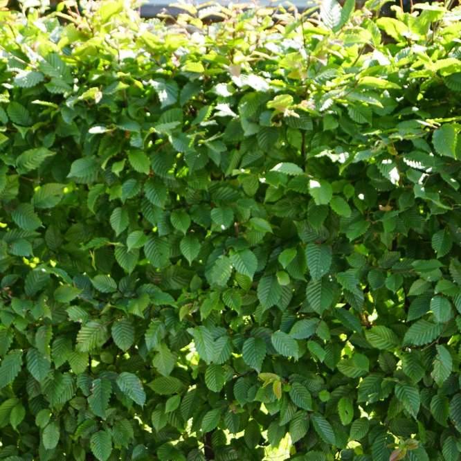 avnboeg-capinus-betulus