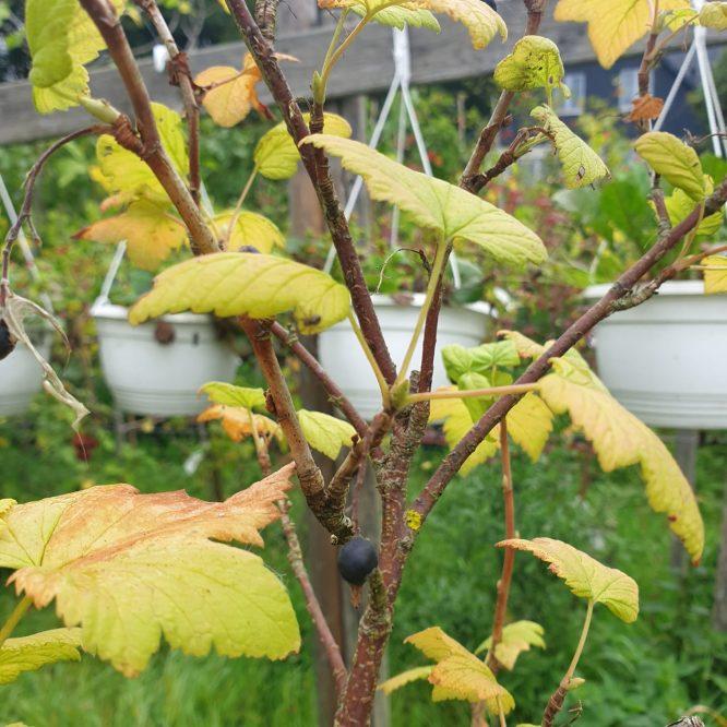 blodribsbusk-atrorubens-ribes-sanguineum-atrorubens