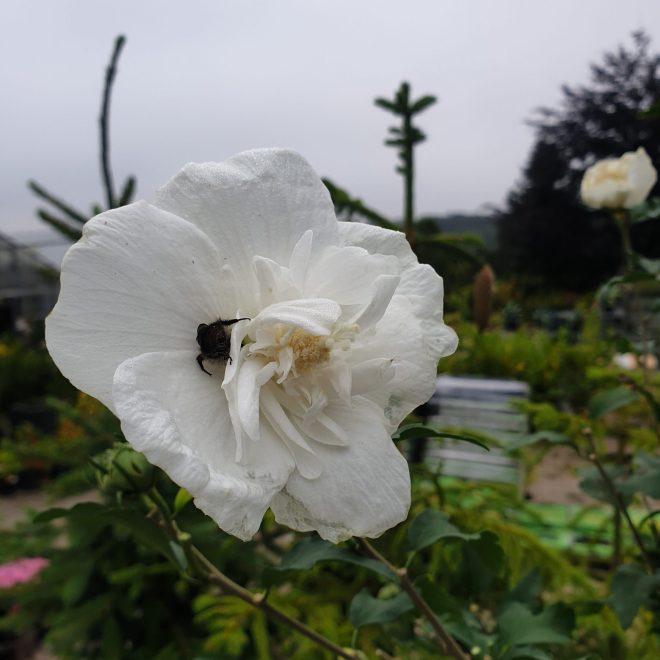 syrisk-rose-hibiscus-syriacus-white-chiffon