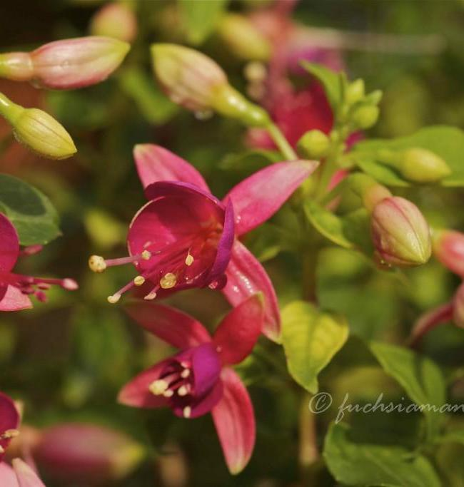 Fuchsia Cherry – Fuchsia of the week 4/2014
