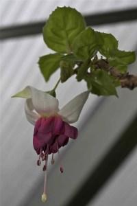 Erste Blüte der Fuchsia Siglinde Rehbein 2014