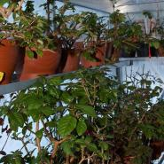 Care for the Fuchsias in the greenhouse in January