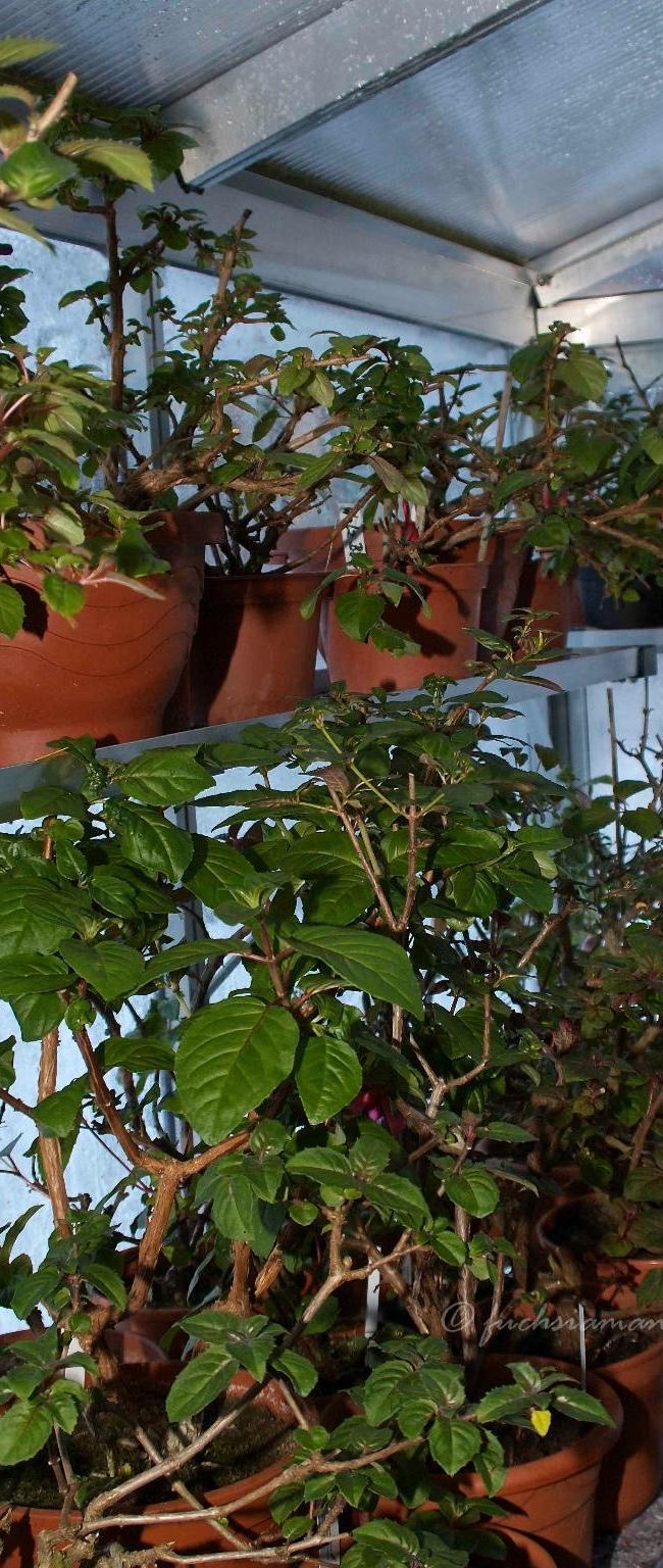 Pflege der Fuchsien im GWH im Januar