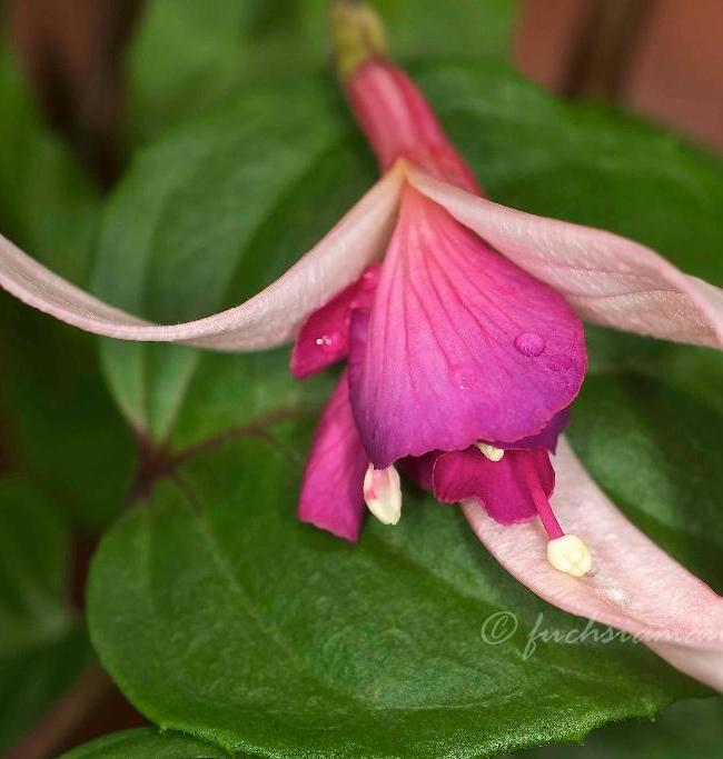 Fuchsias are blossoming in February