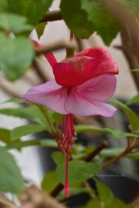 Fuchsia Loeky