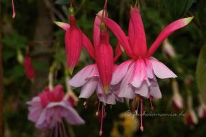 Fuchsia Murru's Perfecta