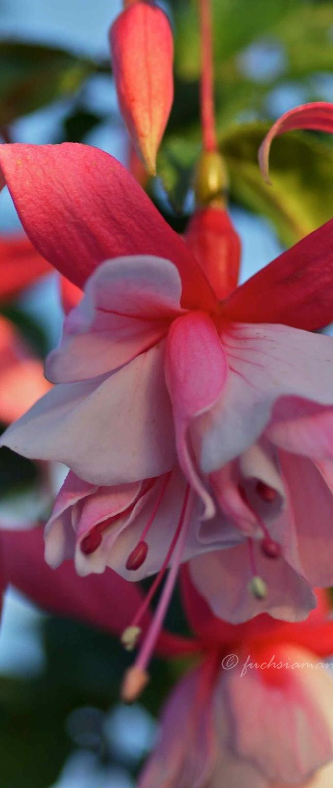 Fuchsia Murru's Perfecta – Fuchsia of the week 8/2014