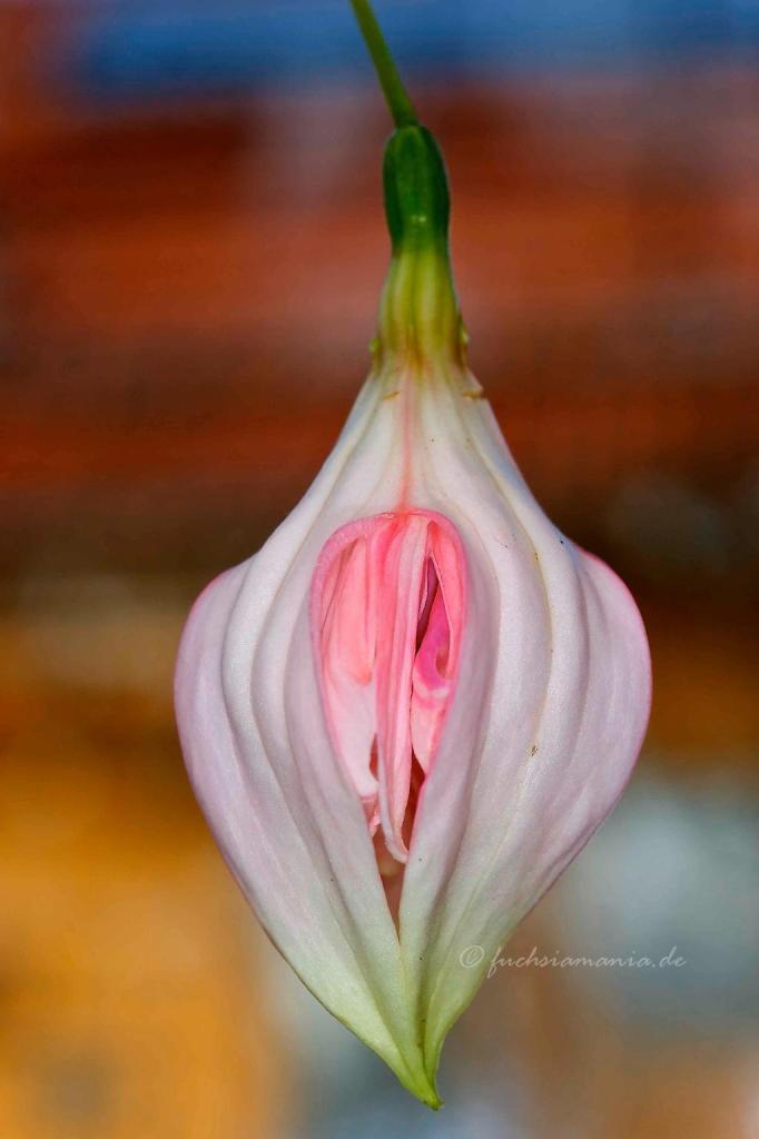 Knospe der Fuchsia Peppermint Candy