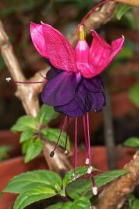 Fuchsia Rohees New Millennium