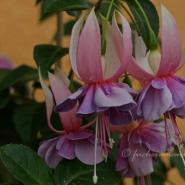 Fuchsia Weleveld – Fuchsia of the Week 12/2014