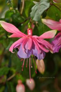 Fuchsia Blessed Event