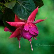 Fuchsia Dr. Volker Rehbein – Fuchsia of the Week 35/2014