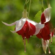 Fuchsia Veenlust – Fuchsia of the Week 44/2014