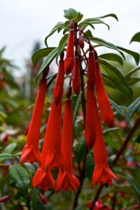 Fuchsia Paul Berry