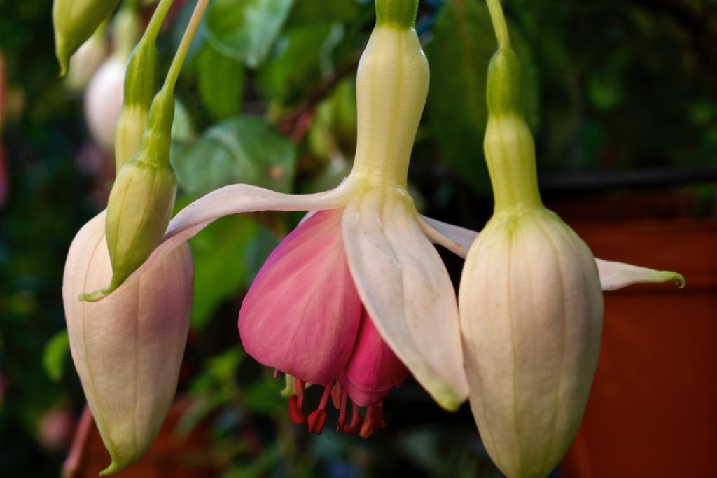 Fuchsia 'Frau Berti Bünder'