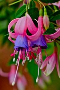 Fuchsia 'Libelle'