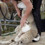 Shearing demonstration