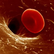 red-blood-cell