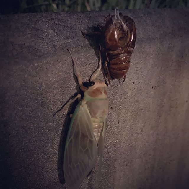 Maybe  it is not rare for many of you, but for me this is the first time to watch a Cicada  coming out of soil. I was raised in  a small town in Hiroshima with many mountains and I have been interested in insects.  But never seen it!Now in  the middle of Tokyo, it happened