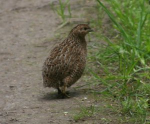 This quail is alive.