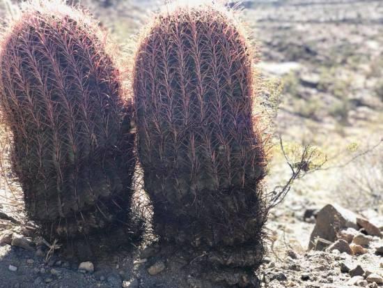 cactus white tank mountains
